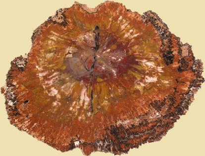 Afbeeldingen van Versteend hout schijf Arizona, circa 220x170x15mm
