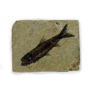 Afbeelding voor categorie Fossielen en aanverwanten
